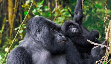 A picture of 7 Day Uganda Gorillas, Chimps , Big 5 & Big Cats Safari