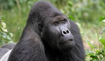 A picture of 4 Day Rwanda Gorilla Trekking, Big 5 & Big Cats Tour