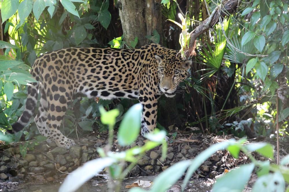 Jaguar Preserve Jungle Adventure