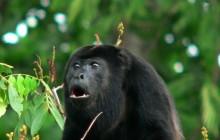 Howler Monkey Adventure