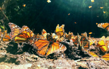 7-Day Monarch Butterfly Tour