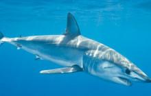 Mako Shark Diving Tour
