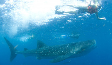 A picture of 7-Day Whale Shark Tour