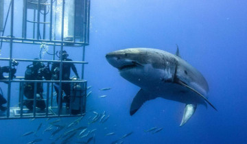 A picture of 5-Day White Shark Diving Guadalupe Island