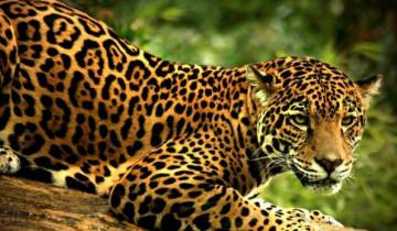 A picture of Jaguar Tour