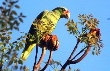 A picture of Birding Package Central Belize and Caye Caulker (7 days)