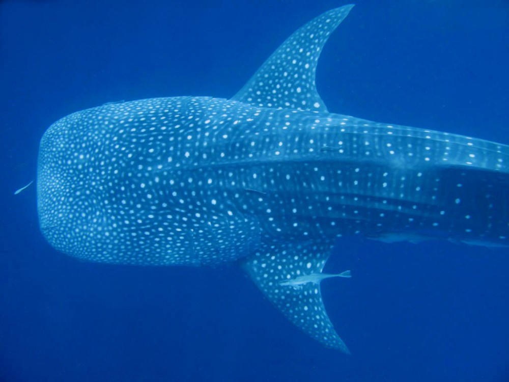 Whale Shark 2-Tank Dive