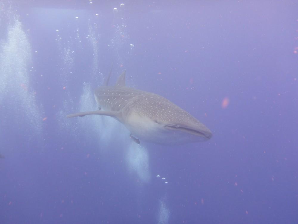 Whale Shark Snorkelers