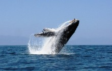 Whale Watching, Marvel Of The Sea