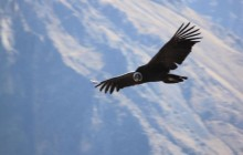 Condor Flight And Lake Titicaca (5 Days & 4 Nights)