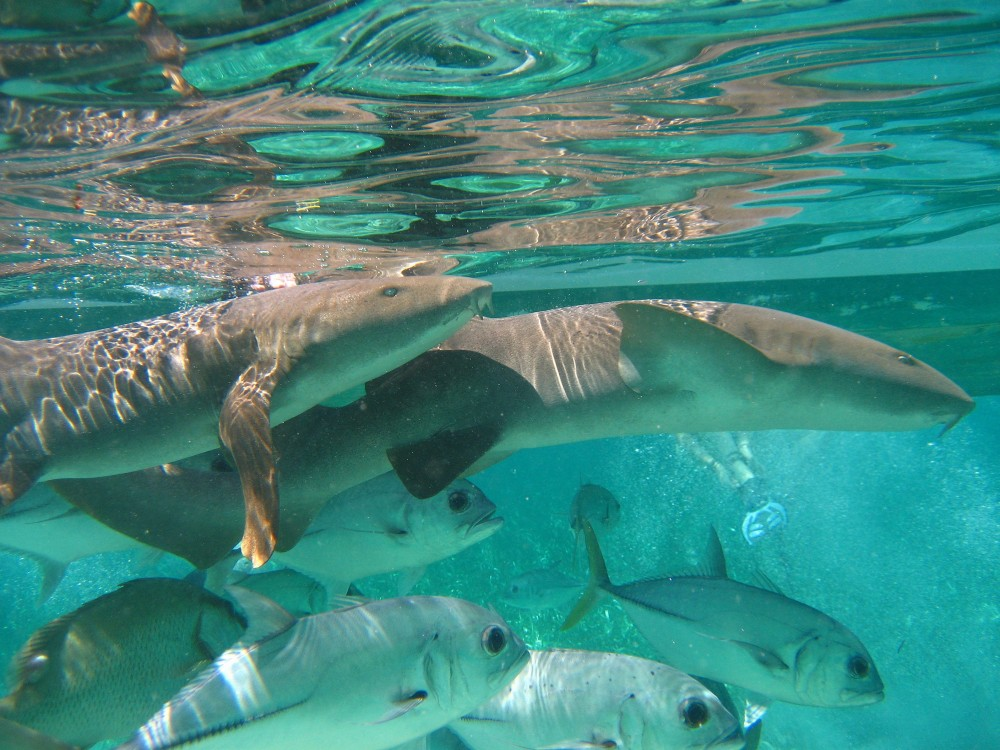 Private: Snorkel Hol Chan and Shark Ray Alley + Beach BBQ