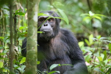 A picture of 9 Days Uganda Rwanda Gorilla Habituation, Wildlife Adventure