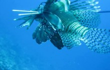 Lion Fish Hunt By Boat Incl Lion Fish Dinner At Coral Estate
