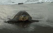 Turtle Observation (Camaronal/Ostional, depending on season)