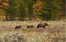 Yellowstone Wildlife Full Day Eco Tour
