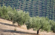 Small Group White Villages & Ronda + Olive Oil Tasting