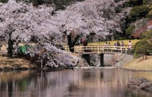 Private Cherry Blossom Tour in Tokyo (by Taxi)