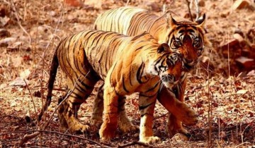 A picture of 8D/7N Private Cultural Golden Triangle with Bengal Tiger