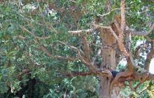Zacchaeus Sycamore Fig Tree