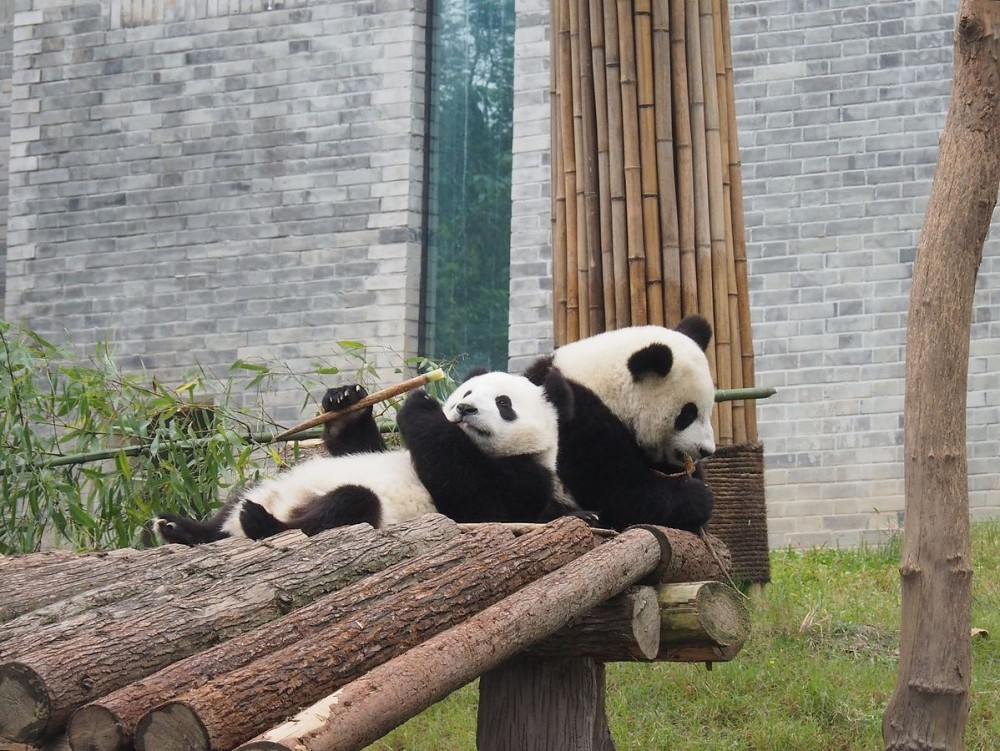 Dujiangyan Giant Panda Center