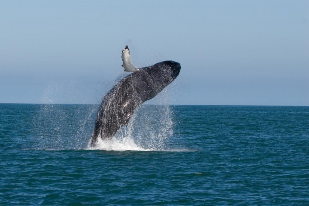 Whale Watching and Golden Circle Sightseeing Trip
