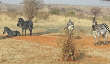 A picture of 3 Days Ruaha National Park Safari Plan From Morogoro