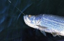 Tarpon Fishing: Full Day