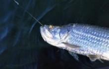 Tarpon Fishing: Half Day