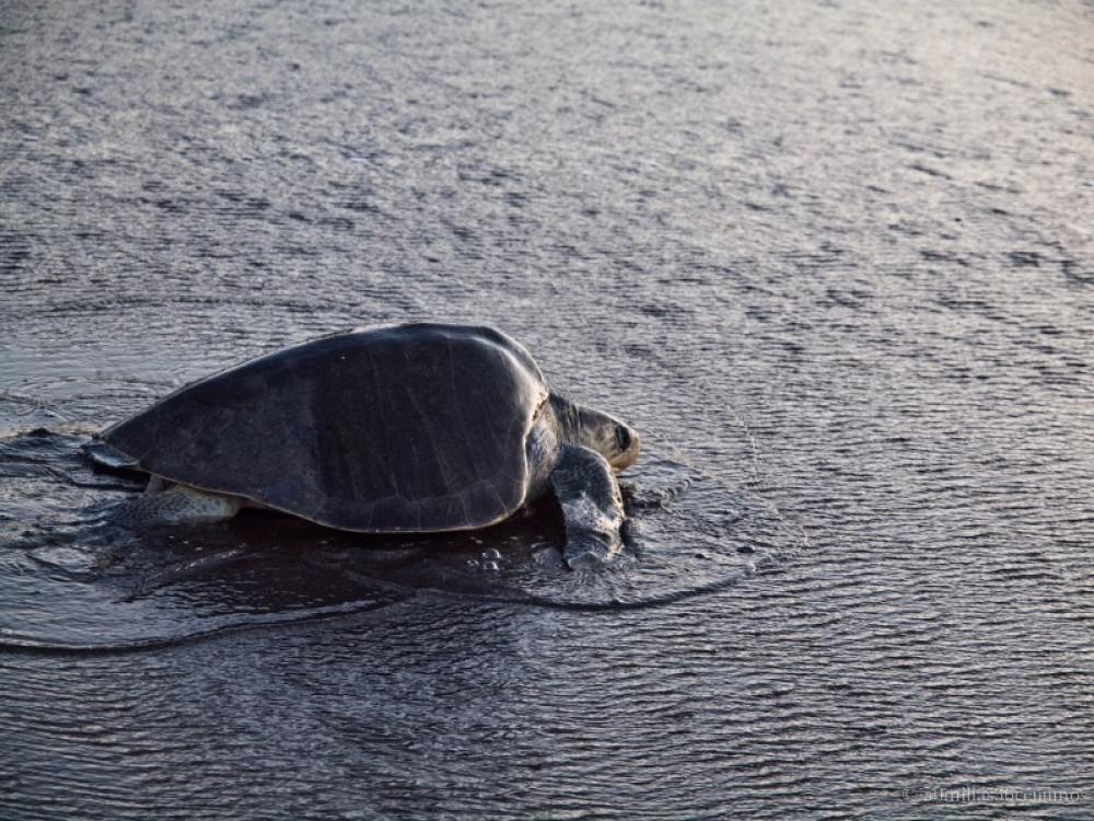 Sea Turtle Watching
