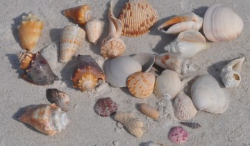 sea shell collecting