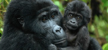 A picture of 4 Days Gorilla Tracking Rwanda