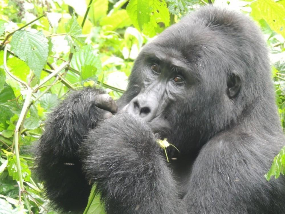 5 Days Gorilla Express