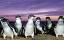 Private Phillip Island Penguin Tour