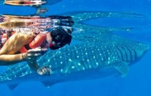 Cozumel Swim with Whale Sharks