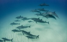 Snorkeling with Wild Spinner Dolphins in Oahu