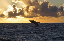 Sunrise Whale Watching from Ma'alaea