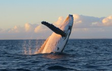 Sunrise Whale Watch from Lahaina