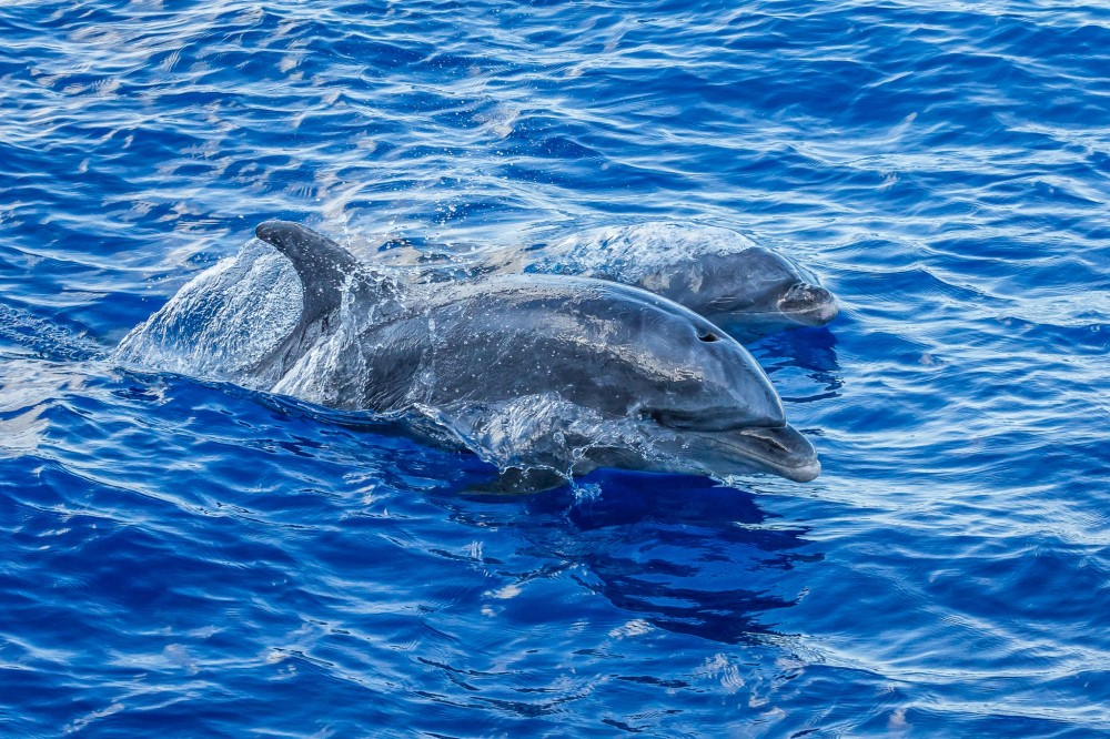 Dolphin Watch Sail from Lahaina