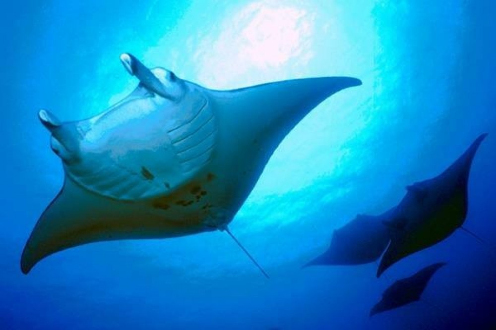Manta Night Snorkel