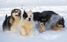 Winter Dog Sledding