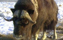 Musk Ox and Mountains Tour