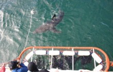 Great White Shark Cage Diving from Cape Town