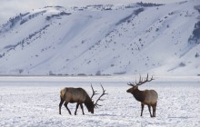 Yellowstone: Winter Wildlife & Wolves Tour (7 days/6 nights)