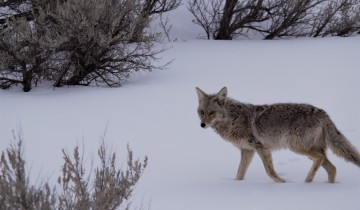 A picture of Yellowstone: Winter Wildlife & Wolves Tour (7 days/6 nights)