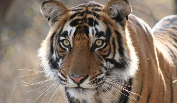 A picture of 4-Day Ranthambhore Tiger Safari To Agra and Jaipur Private Tour